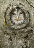 Сова, выглядывающая из дупла.Камера: Canon 5D; Объектив Canon 500LКлючевые слова: Серая неясыть, Strix aluco, Tawny Owl