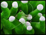 Креветка на щупальцах анемона, Филиппины