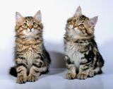 Соседские котята Абсент и Арбуз