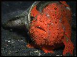 Рыба-клоун(anglerfish), Лембех, Индонезия