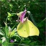Бабочка на просвет.