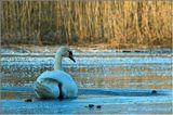 Лебедь зимой... Необычно!