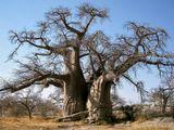 Баобаб Африка Ботсвана