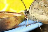 Бабочка, макро, нектар