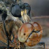 Жертвой хищной мухи(ктыря) стала стрекоза