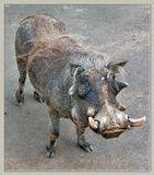 Бородавочник африканский (лат. Phacochoerus africanus) — вид из семейства свиней (Suidae) отряда парнокопытных, обитающий в больших частях Африки.Длина тела: 120-150 см.Длина хвоста: до 45 см.Высота в холке: 60-85 см.Масса тела: 60-150 кг.Продолжительность жизни: 20 лет.Бородавочник получил название за огромные кожные бородавки на морде.Другие подробности - в моем комментарии.