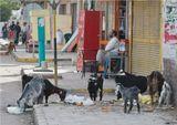 Хургада, египтяне, козы