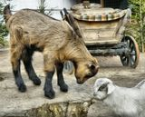 маленькие козлята