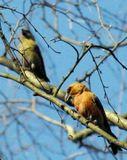 Клесты - единственая птица, выводящая птенцов в разгар зимних морозов. Самец красно-бурый, самка зеленовато-серая. Клюв клеста придает ему сходство с попугайчиком. Занесен в Красную книгу Москвы