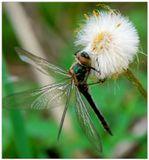 макро стрекоза цветок