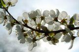 Природа. Цветение вишни.