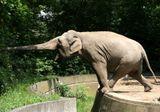 Берлинский зоопарк. Момент, который длился довольно продолжительное время. Слон так и не дотянулся до зелени. А меня замирало сердце, когда он балансировал, оттягивая заднюю ногу. Не упал...