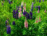 Люпин (Lupinus), лупин, волчий боб, род растений семейства бобовых. Главным образом травянистые однолетние и многолетние растения. Родина Люпин - побережье Средиземного моря и Северная Америка. В Западном и Восточном полушарии произрастает свыше 200 видов Люпин В культуру введено более 10 видов. Наибольшее распространение в Европе имеют 3 однолетних вида - узколистный, или синий (L. angustifolius), жёлтый (L. luteus), белый (L. albus) - и 1 многолетний вид (L. polyphyllus).