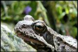 очень фотогиничная лягушка, терпеливо выжидавшая удачного снимка