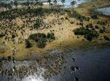 Ботсвана Акаванга Африканские буйволы