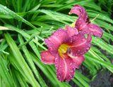 Дачные цветы, после дождя.