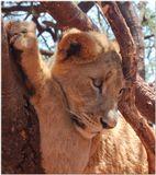 Кареглазая львица была молода,грациозна и хороша собою и поэтому любила фотографироваться. Перед направленными на нее объективами она принимала соблазнительные позы, демонстрировала свою очаровательную мордочку и могучие коготки, пока грозный рык ее хозяина не заставил кокетку притихнуть и скромно удалиться. Наша фотосессия в львином окружении на этом закончилась. Южная Африка. Национальный парк Крюгера.