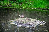 duck, at Bronx ZOO
