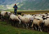 Пастух (чересчур, к сожалению, современный!) с собакой гонит стадо овец на пастбище.