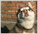собаки, щенки, хаски, лайка, юмор
