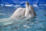 Слева 3-х месячный самец белухи по имени Гоша искренне привязанный к своей, как он считает маме, 3 годовалой самочке черноморского дельфина Веге!!!