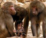 Зоопарк. Бабуины.