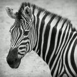Эта фотография - мой скромный вклад в благородное дело фонда, занимающегося защитой прав бесполосых зебр...
