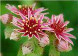 На удивление редкий и красивый цветок. Само растение никогда не превышает пяти сантиметров в высоту и стелется по земле, но, расцветая, выпускает к небу стебель с бутонами весьма высоко.