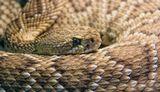 Гремучник (гремучая змея) - одна из опаснейших рептилий планеты...