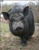 Фотомодель зовут Шара. Очень умная свинка.