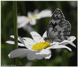 Галатея ( Пестроглазка )Бабочка на цветкеГелиос-44 + МакрокольцаБабочка, Галатея, ромашка, цветы, Лето