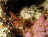 Креветка в Красном море.  Красное море, подводный мир