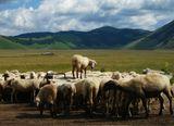 Пока стадо овец толкается в надежде добраться до водопоя, самые умные овцы залезают на возвышение и спокойно пьют из-под крана.