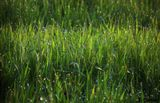 роса трава