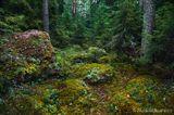 forest landscape tree glade pine сосны лес поляна пейзаж деревья