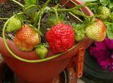 """Земляника """"Королева Елизавета-2"""" растущая в вазоне, на зиму перебирается в тёплый доммакро, земляника, клубника, фотография, натюрморт, сад, ягоды, урожай, Королева Елизавета-2, вазон, урожай круглый годТатьяна  Самбурская"""