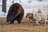 Притравка лаек по медведю, Якутск, апрель 2008К сведению зрителей:  медведица в результате не пострадала, ни одна собака так и не рискнула укусить её...  Хотя нерваня система, конечно, подверглась серьёзному стрессу...  Впрочем, она хоть подышала свежим воздухом, подвигалась.  Это после целого года в тесной клетке - наверное неплохо.А вообще, я, конечно, против таких мероприятий...  Хотя сам являюсь профессиональным охотоведом. Вот :)