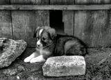 щенок живущий в деревне