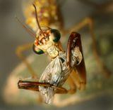 Мантиспа поедает цикадку. Ночная съёмка
