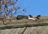 коты, кошки, крыша, сиеста