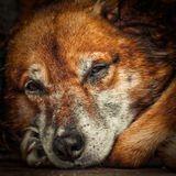 пес тоскует, хозяева уехали на зиму, мои родители присматривали за ним и кормили