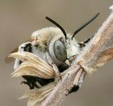 Пчёлы устравиваются на ночлег или отдых в холодную погоду порой в очень причудливых позах.