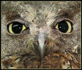 Сплюшка - название этой птицы...