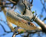 Желтобрюхий полоз - самая крупная и самая агрессивная змея Европы. Достигает 2-2.5 метров в длину, эта особь немного больше метра. Отлично лазает по деревьям, к счастью неядовит.