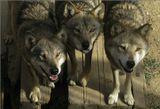 Вечно голодные китайские волки
