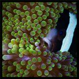 """На самом деле рыбка не в """"ужасе"""". Чтобы защитить икру от щупалец актинии. амфиприоны  берут щупальце ртом и осторожно проводят по икре. Слизь с щупалец одевает икринки и у эмбриона вырабатывается иммунитет к яду стрекательных клеток.Индонезия, о-в Ломбок"""