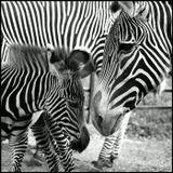 зебры полоски графика