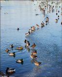 утки вода лёд зима