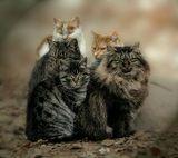 Я не собирал котов по всей округе и не собирал вместе средствами фотошопа.. Эти кошки грелись на люке теплотрассы прошлой зимой и все являются родными братьями и сестрами(крайний справа-папа) ! :))