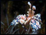 Креветки-арлекины одни из редчайших примеров среди беспозвоночных, для которых уместно употребления словосочетания «супружеская верность». Они образуют постоянные пары на всю жизнь и способны узнавать своего партнера даже после многомесячной разлуки.Арлекины –  охотники, их главная добыча – морские звёзды.Креветки пожирают звезду с конца луча до центрального диска, сохраняя её живой как можно дольше.Её размер-около 5 см.